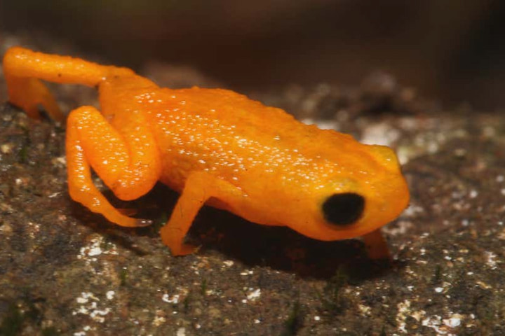 Phát hiện loài cóc bí ngô có da phát quang