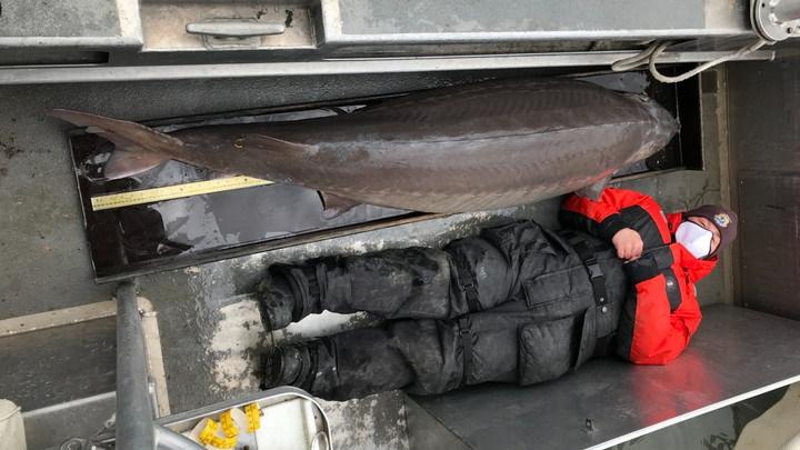 """Phát hiện một """"cụ bà"""" cá tầm hơn 100 tuổi, nặng 104 cân"""