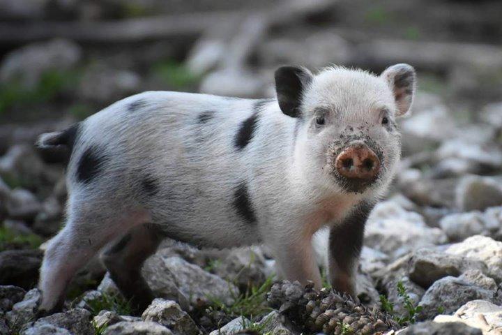 """Phát hiện lợn có thể thở bằng """"mông"""", mở ra tiềm năng điều trị hô hấp ở bệnh nhân Covid"""