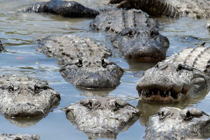 Biến đổi khí hậu gây mất cân bằng giới tính ở loài cá sấu
