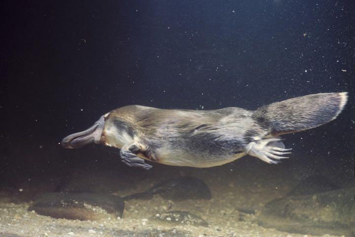 6 sự thật không thể tin nổi về thú mỏ vịt