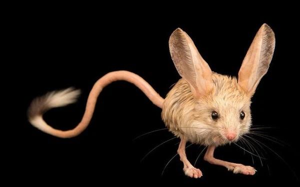 Chuột nhảy sa mạc Jerboa: Không đi tiểu, bật nhảy cực cao, tai to bằng nửa cơ thể