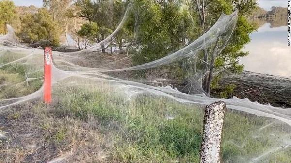 Cánh đồng ở Úc bao phủ đầy mạng nhện