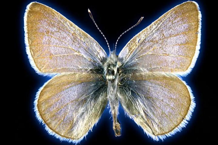 Loài bướm tuyệt chủng vì quá trình đô thị hóa nước Mỹ