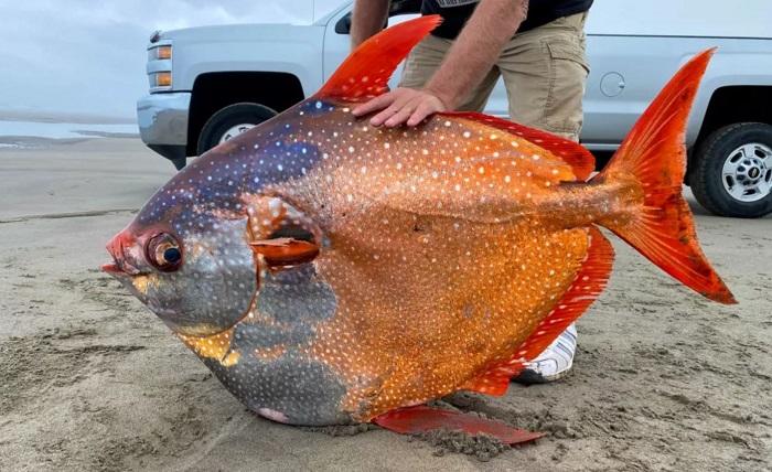 Phát hiện cá mặt trăng khổng lồ cực đẹp, nặng gần 45kg