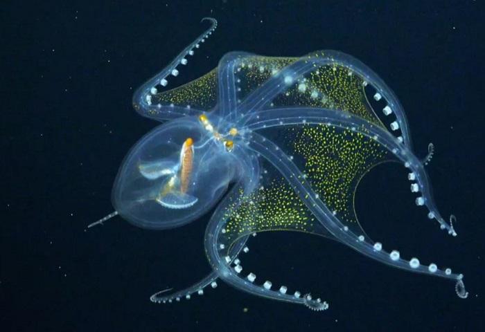 Bạch tuộc thủy tinh cực đẹp và cực hiếm ở biển Thái Bình Dương