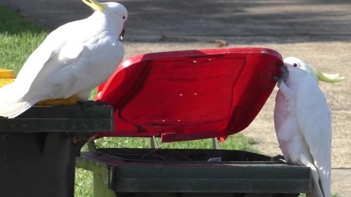 Kỳ lạ chuyện loài vẹt biết dạy nhau cách mở nắp thùng rác ở Úc?
