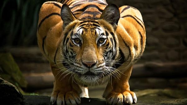Đây là 9 loài mèo lớn nhất thế giới