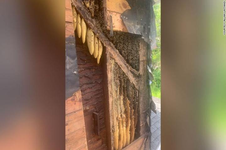 Gần nửa triệu con ong mật đã chiếm đóng bức tường căn nhà này suốt 35 năm