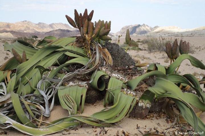 Loài cây sống hàng ngàn năm tại các sa mạc khô cằn