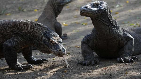 """Indonesia muốn xây """"công viên kỷ Jura"""" trên đảo có đầy rồng Komodo"""