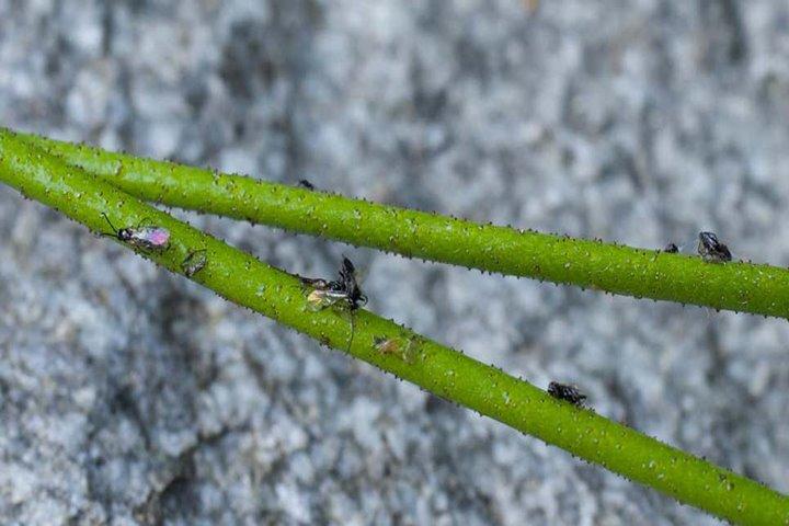 Loài thực vật phổ biến ở Bắc Mỹ vừa được phát hiện là cây ăn thịt