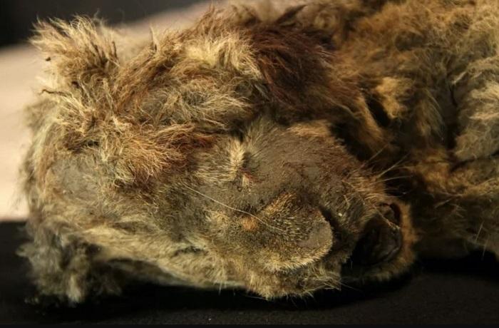 Xác ướp sư tử tồn tại nguyên vẹn sau gần 30.000 năm bị đóng băng