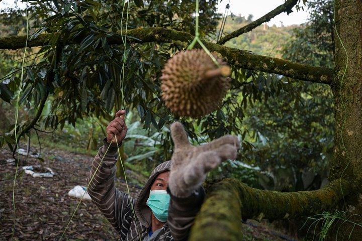 Cuộc chiến bảo vệ giống sầu riêng ngon nhất thế giới tại Malaysia