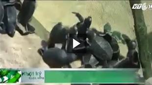Cận cảnh ổ trứng rùa biển 'khủng' ở Quy Nhơn
