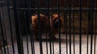 Video sư tử châu Phi sủa ông ổng trong vườn thú Trung Quốc