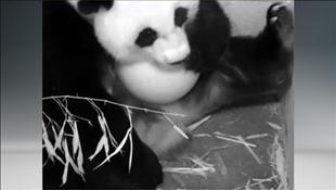 """Video: khoảnh khắc gấu trúc """"vượt cạn"""""""