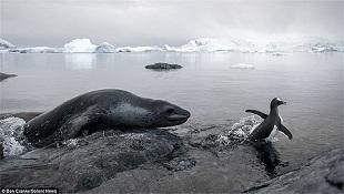 Hải cẩu đói bụng rượt đuổi chim cánh cụt suốt 3 giờ