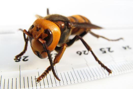 """Kinh hoàng cảnh ong khổng lồ """"làm thịt"""" hàng ngàn ong mật"""
