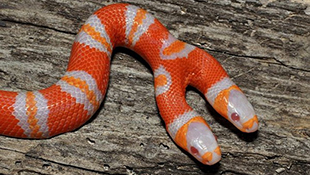 Mục sở thị loài rắn bạch tạng hai đầu