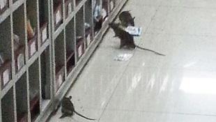 """Giật mình cảnh chuột """"làm loạn"""" tủ thuốc bệnh viện"""