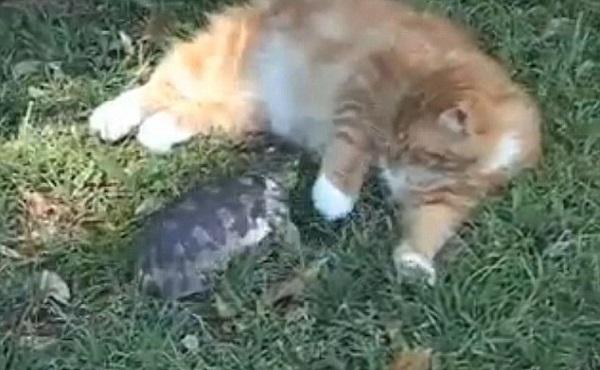 """Giành lãnh thổ, rùa tí hon cũng """"chiến"""" cả mèo"""