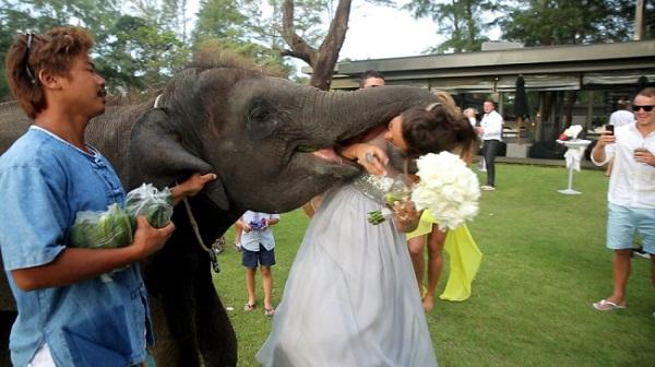"""Cô dâu bị voi """"cưỡng hôn"""" trong ngày cưới"""