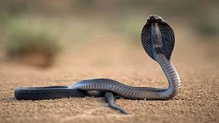 Sốc với cảnh bé thơ ngây ngủ giữa bầy rắn hổ mang