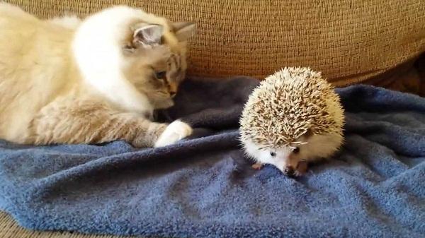 Video mèo ngồi lên nhím... và kết quả thì ai cũng biết!