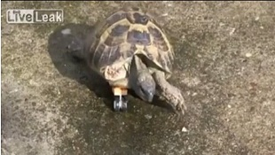 Cảm động với clip chú rùa mang chân giả lego