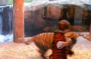 Clip chú bé vui đùa thích thú với... hổ
