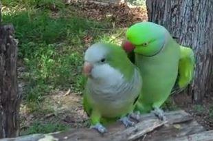 Màn tỏ tình lãng mạn của đôi vẹt dễ thương