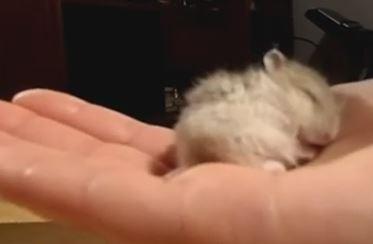 Chuột hamster ngáy cực kỳ dễ thương