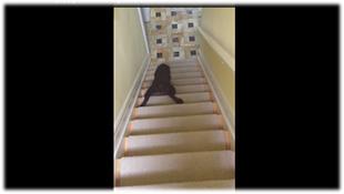 Chó trình diễn kỹ thuật... trượt cầu thang