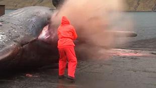 Xác cá nhà táng bất ngờ phát nổ, nội tạng bay tứ tung
