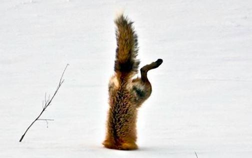 """Đói cùng đường, cáo đâm đầu """"lặn"""" vào tuyết để kiếm ăn"""