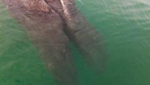 Kinh ngạc với cặp cá voi song sinh dính liền ở Mexico